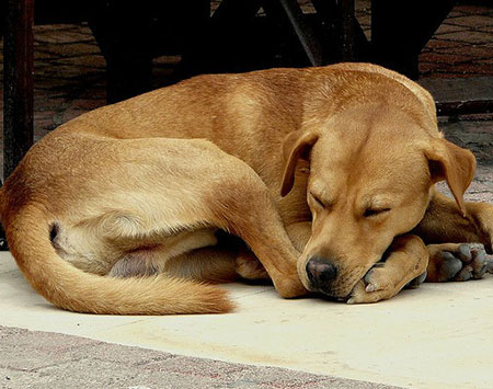 sleeping-dogs-curled-up